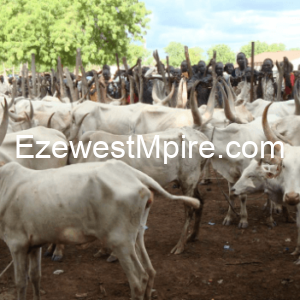 A Cow Is More Valuable Than 100 Living Souls — says Miyetti Allah